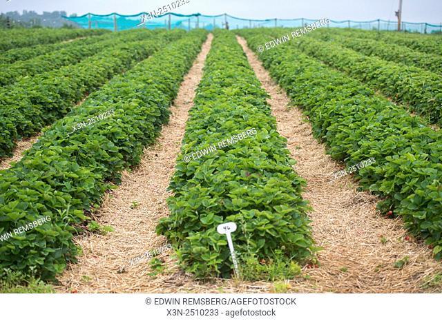 Field of strawberries growing