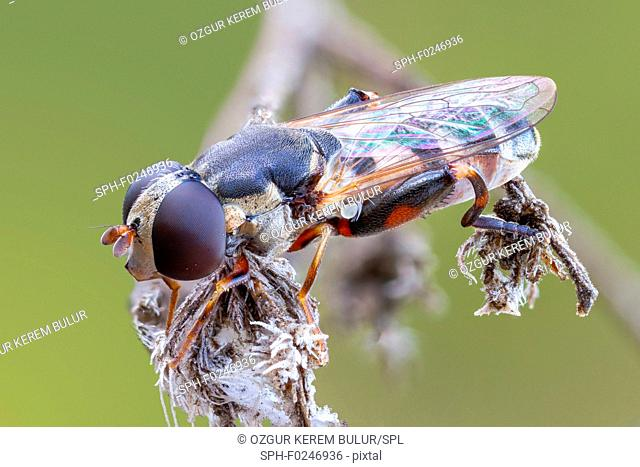 Thick legged hoverfly (Syritta pipiens) on a dried wild plant