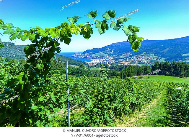 Vineyards, Bodega Gorrondona, Bakio, Biscay, Basque Country, Spain