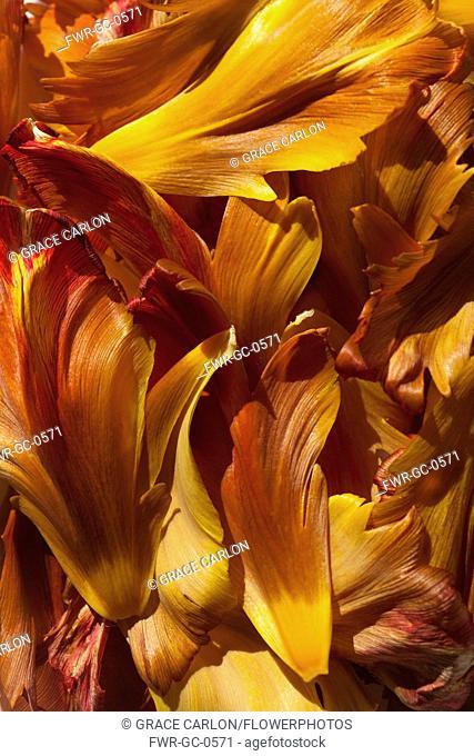 Tulip, Tulipa, Studio shot detail of a mass of orange petals
