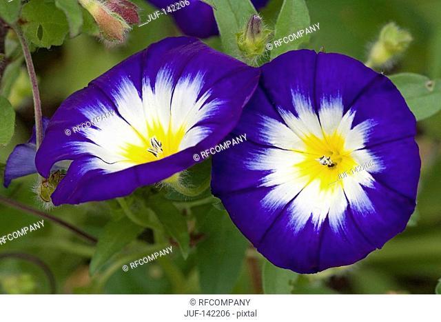 dwarf morning glory / Convolvulus tricolor