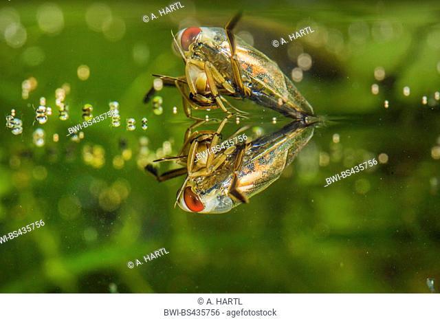 backswimmers, water boatman (Notonectidae), feeding on a bug, Germany