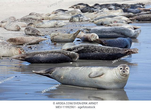 Common / Harbour Seal - seals resting on the beach - Germany