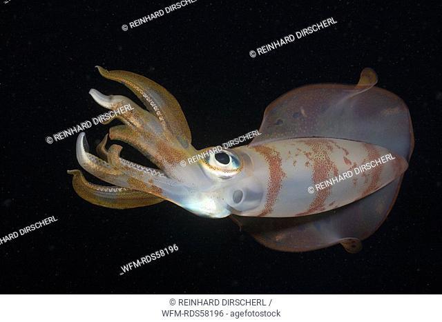 Bigfin Reef Squid, Sepioteuthis lessoniana, Nuweiba, Sinai, Red Sea, Egypt