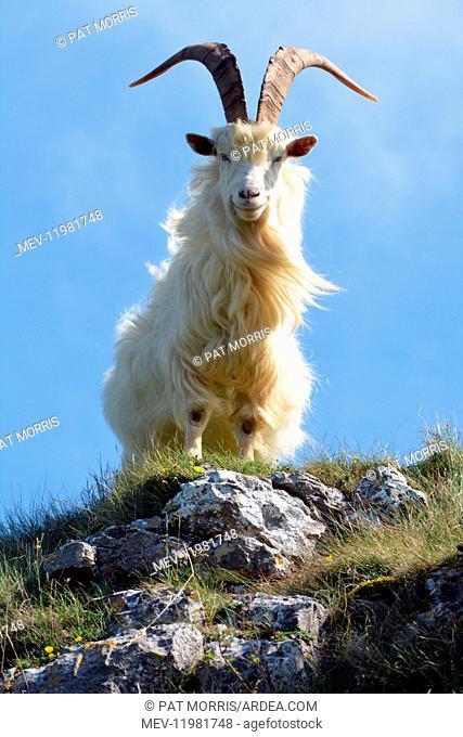 Wild (feral) Goat, adult male; Great Orme Head, Llandudno, North Wales coast