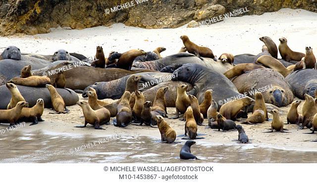 California Sea Lions & Elephant Seals on San Miguel Island