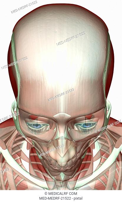 The musculoskeleton of the head and neck