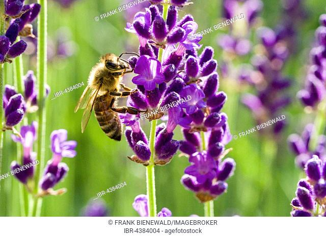 Carniolan honey bee (Apis mellifera carnica) is collecting nectar at a purple Lavender (Lavandula) blossom, Saxony, Germany