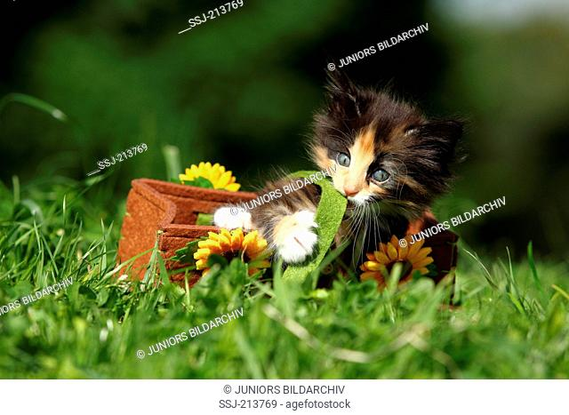 Norwegian Forest Cat. Kitten (6 weeks old) playing in a felt bag with sunflowers on a meadow. Germany