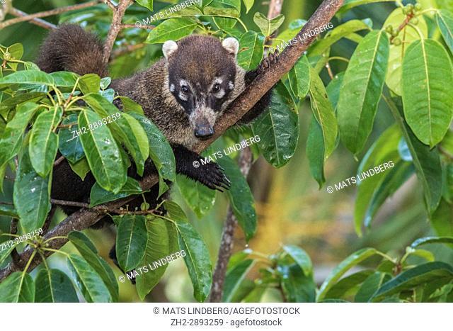 White-nosed coati, Nasua narica, climbing a tree, Laguna del Lagarto, Boca Tapada, san Carlos, Costa Rica