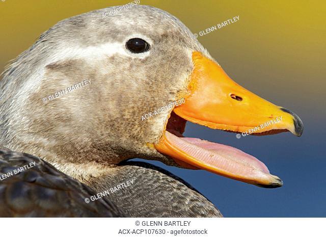 Falkland (Flightless) Steamer-Duck (Tachyeres brachypterus) in the Falkland Islands