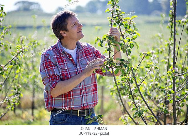 Farmer checking cider apple trees in orchard