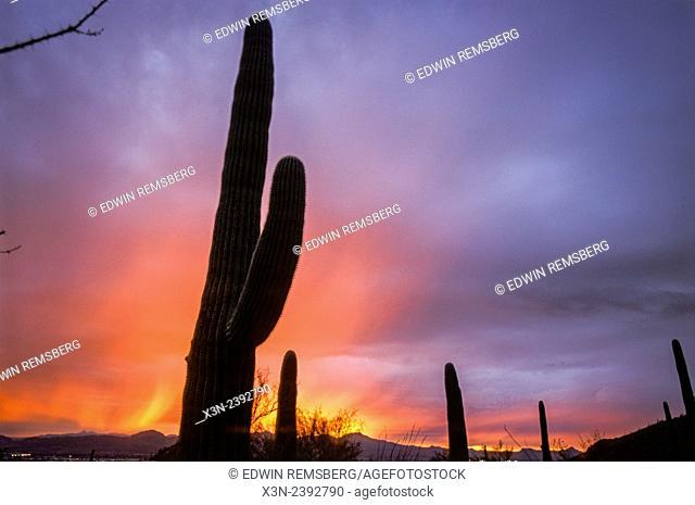 Cacti (Cereus Giganteus) (Saguaro) in desert landscape with colorful sunset in Arizona
