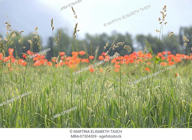Green wheat field with poppies
