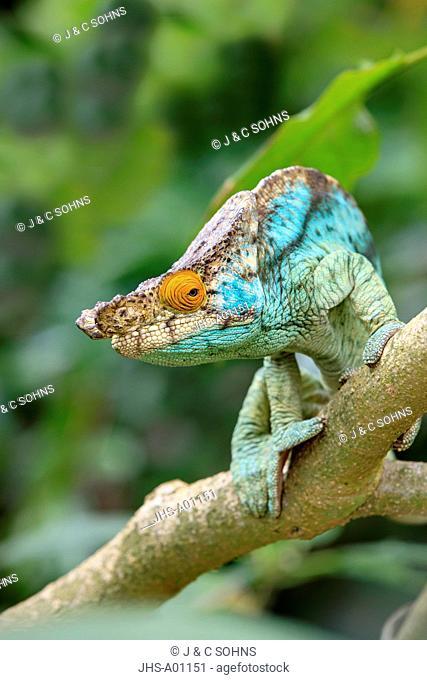 Parson's chameleon, Calumma parsonii, Madagascar, Africa, adult male searching for food portrait
