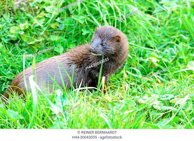 Mink, American mink, Neovison vison, Mustela vison, marten, Marten-like, predator, Doggy, wild animal, seldom, Neozeoen