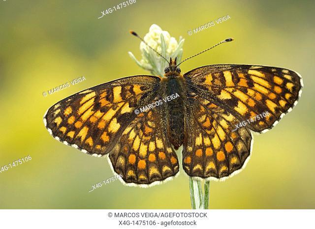 Knapweed Fritillary Melitaea phoebe