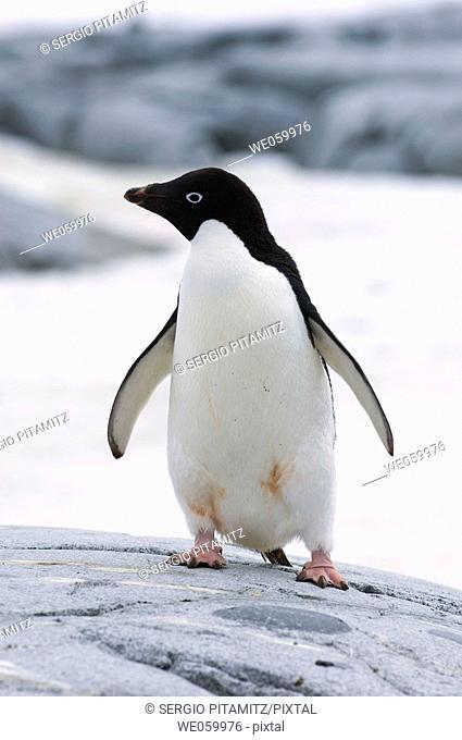 Antarctica, Antarctic Peninsula, Lemaire Channel, Petermann Island, Adelie Penguin