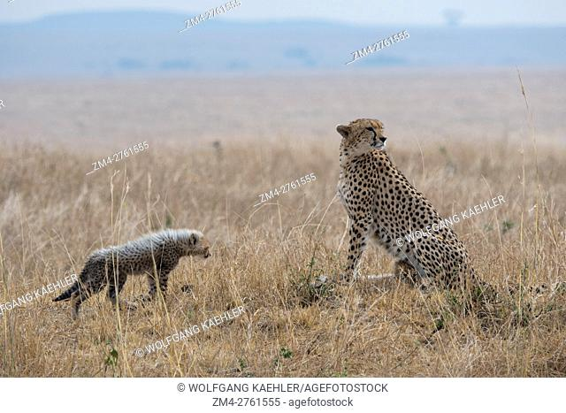 A Cheetah (Acinonyx jubatus) and her kittens in the grassland of the Masai Mara National Reserve in Kenya