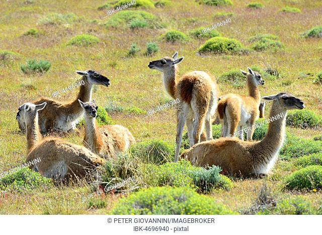 Herd Guanacos (Lama guanicoe), resting in the grass, Torres del Paine National Park, Patagonia, Chile