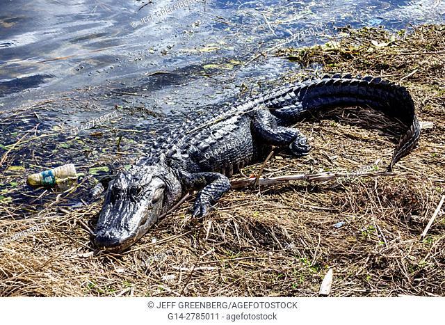 Florida, Everglades, Alligator Alley, American alligator Alligator mississippiensis, resting, sunning, plastic bottle, floating, trash, litter, pollution