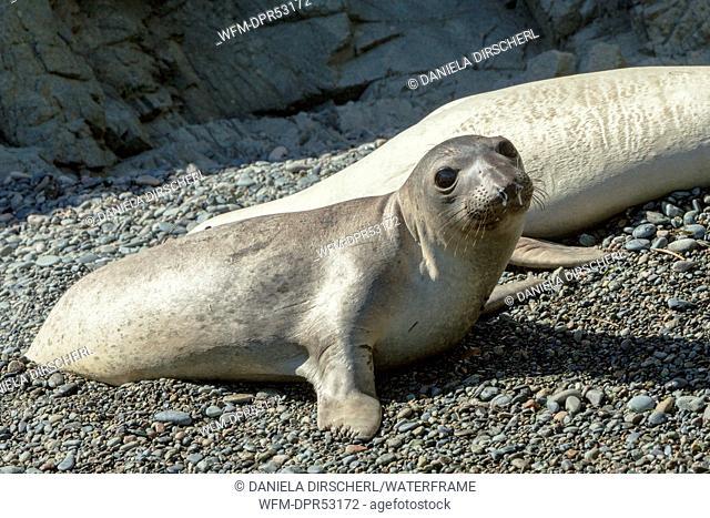 Juvenile Northern Elephant Seal, Mirounga angustirostris, Cedros Island, Mexico