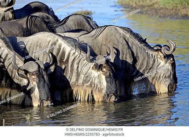 Kenya, Masai Mara Reserve, Wildebeest (Connochaetes) is abreuvavnt in a swamp