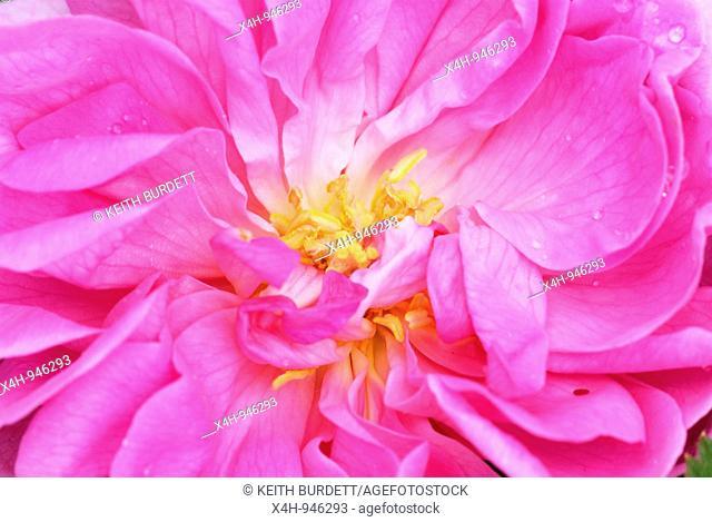 Damask rose Rosa damascena