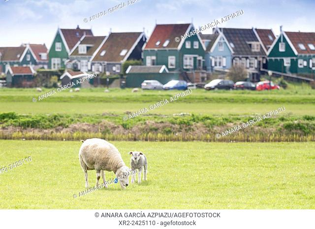 Sheep and lamb in Marken, Holland