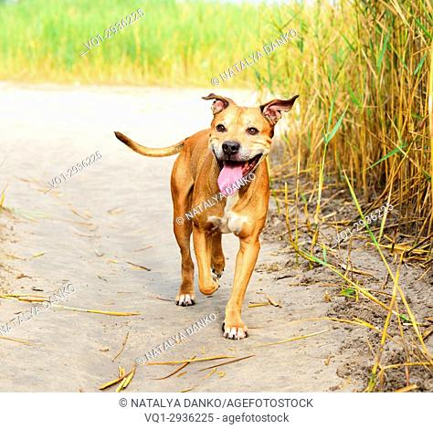 smiling redhead American pit bulls walking on nature, summer day