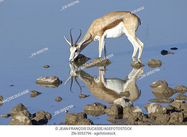 Springbok (Antidorcas marsupialis), adult female standing in water, drinking, Okaukuejo waterhole, Etosha National Park, Namibia, Africa