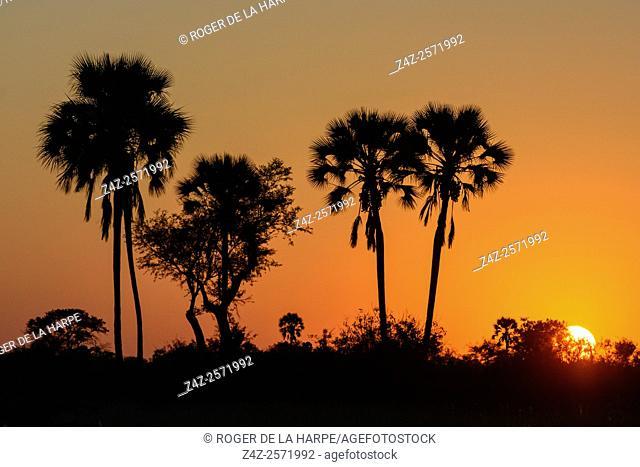 Real fan palm or Makalani palm (Hyphaene petersiana) at sunset. Okavango Delta. Botswana