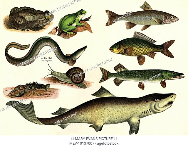 A selection of fish, a green frog, a snail, a toad and a lobster!
