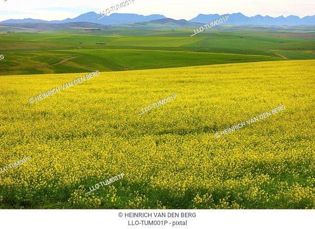 Distant view of Canola Rapeseed fields, Overberg Region, Western Cape Province, South Africa
