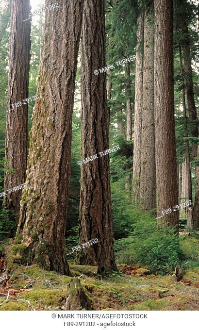 Old growth Douglas fir  and Western Hemlock. Olympic National Park. Washington, USA