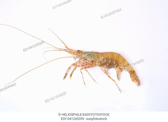 prawn Shrimp
