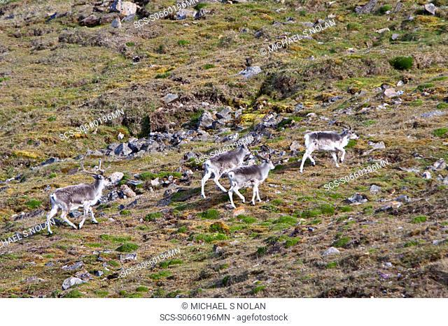 Svalbard reindeer Rangifer tarandus platyrhynchus on tundra in Lillehkfjord on Spitsbergen Island in the Svalbard Archipelago