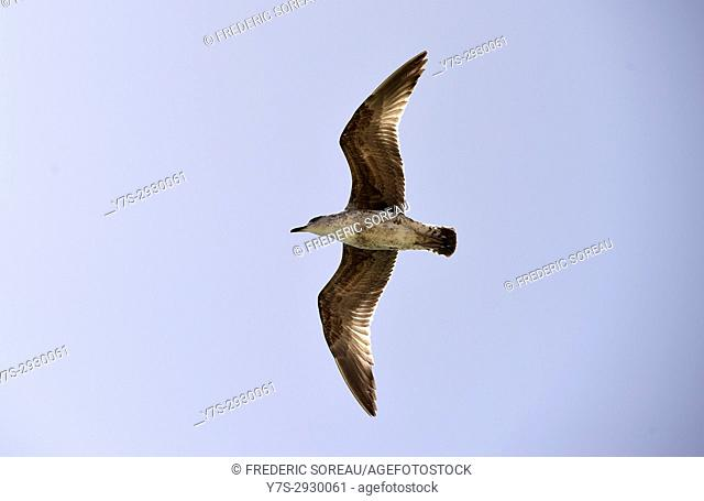Seagull in flight, Algarve, Portugal