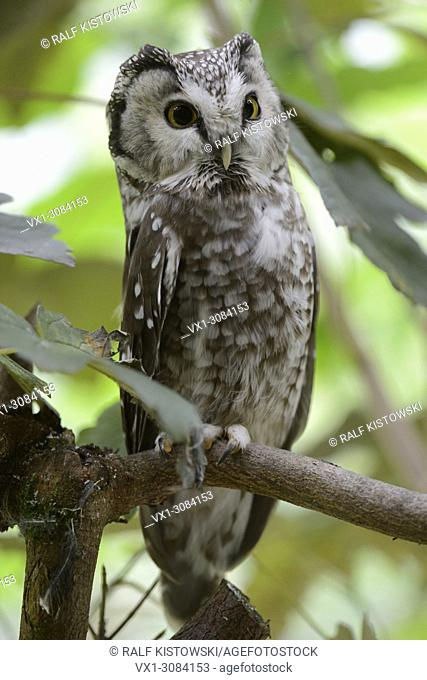 Boreal Owl ( Aegolius funereus ), alarmed adult, perched in a tree, with its eyes wide open, frontal side view, Europe