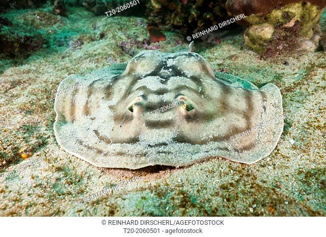 Reticulated Round Ray, Urobatis concentricus, Cabo Pulmo Marine National Park, Baja California Sur, Mexico