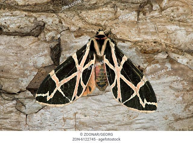 Nachtfalter Apantesis phalerata, Erebidae, Harenna Forest, Bale Mountains, Oromia, Äthiopien / Harnessed Tiger moth (Apantesis phalerata), Erebidae