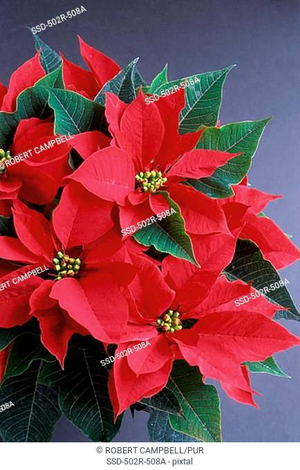 Close-up of a Poinsettia plant