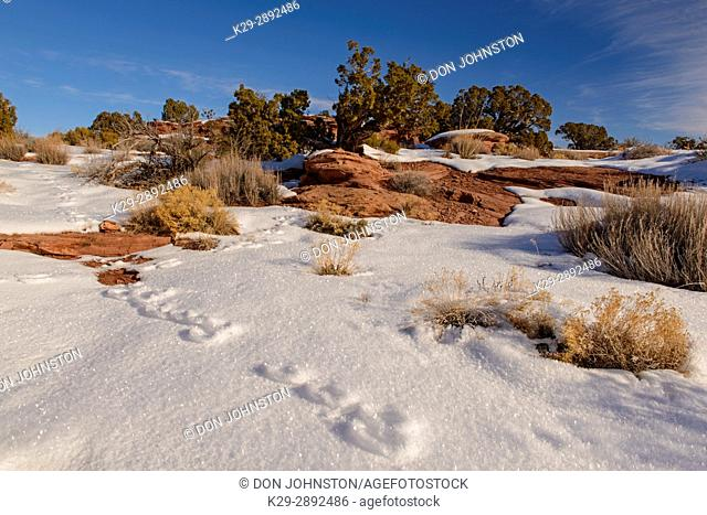 Cottontail bunny tracks in the frosted snow, Dead Horse Point State Park, Utah, USA