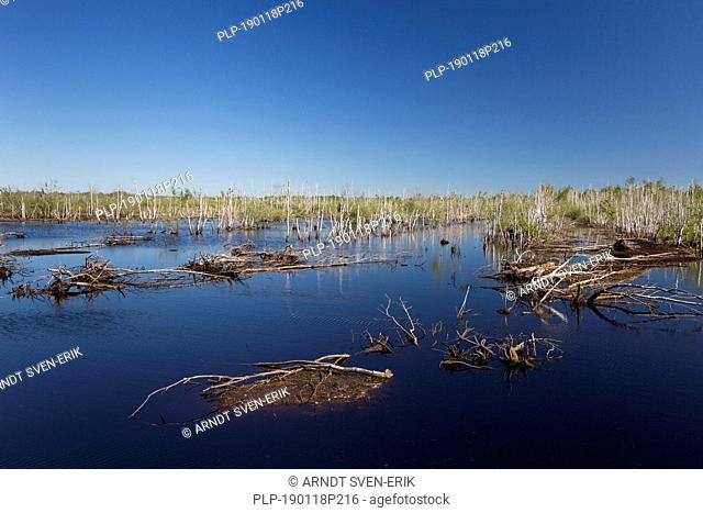 Dead birch trees in lake in nature reserve Totes Moor / Toten Moor, raised bog near Neustadt am Rübenberge, Niedersachsen / Lower Saxony, Germany