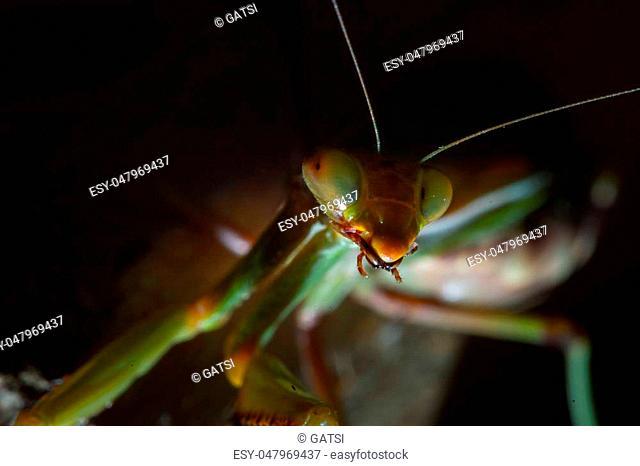 Mantis, macro photography common green mantis or pray mantis isolated on black background