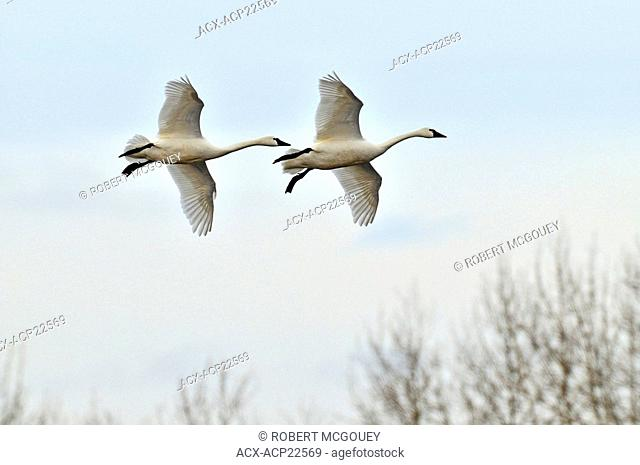 A pair of migrating Tundra Swans flying low in an attempt to land for a rest on thier way to the Artic to find nesting sites