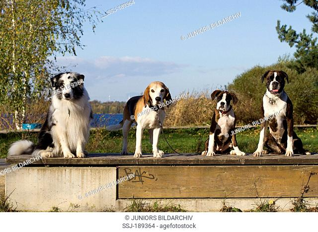 Australian Shepherd, Beagle and two Boxer (bitch and puppy) sitting next to each other. Germany
