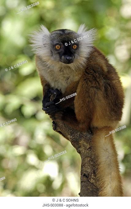 Black Lemur, Lemur macaco, Nosy Komba, Madagascar, adult female on tree