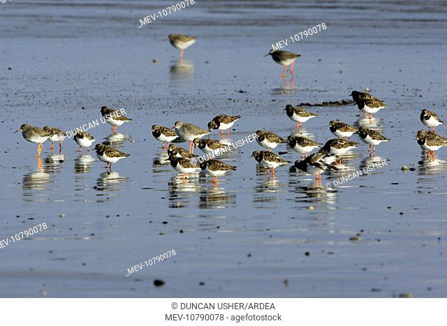 Turnstone - and Common Redshank (Tringa totanus), flock resting on beach, autumn (Arenaria interpres)