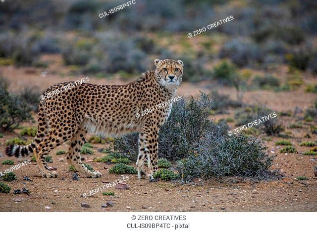 Cheetah (Acinonyx jubatus), Sutherland, Northern Cape, South Africa